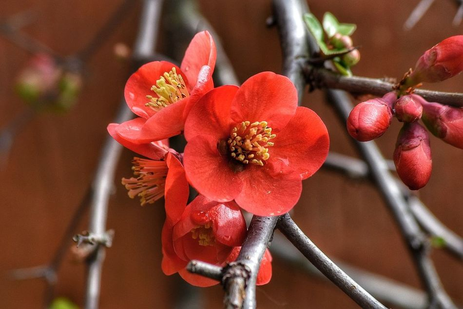 chaenomeles Red Flower Close-up Flower Head No People Nature Fragility Freshness Outdoors Day Floweringquince Chaenomeles Japonica NikonD5500