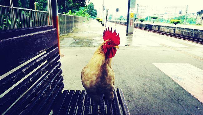有雞再車站