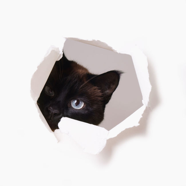 Animal Eye Animal Head  Blue Eyes Cat Curiosity Curious Domestic Animals Domestic Cat Feline FUNNY ANIMALS Hole Looking Paper Peeking Pets Staring Studio Shot Through Torn White Background