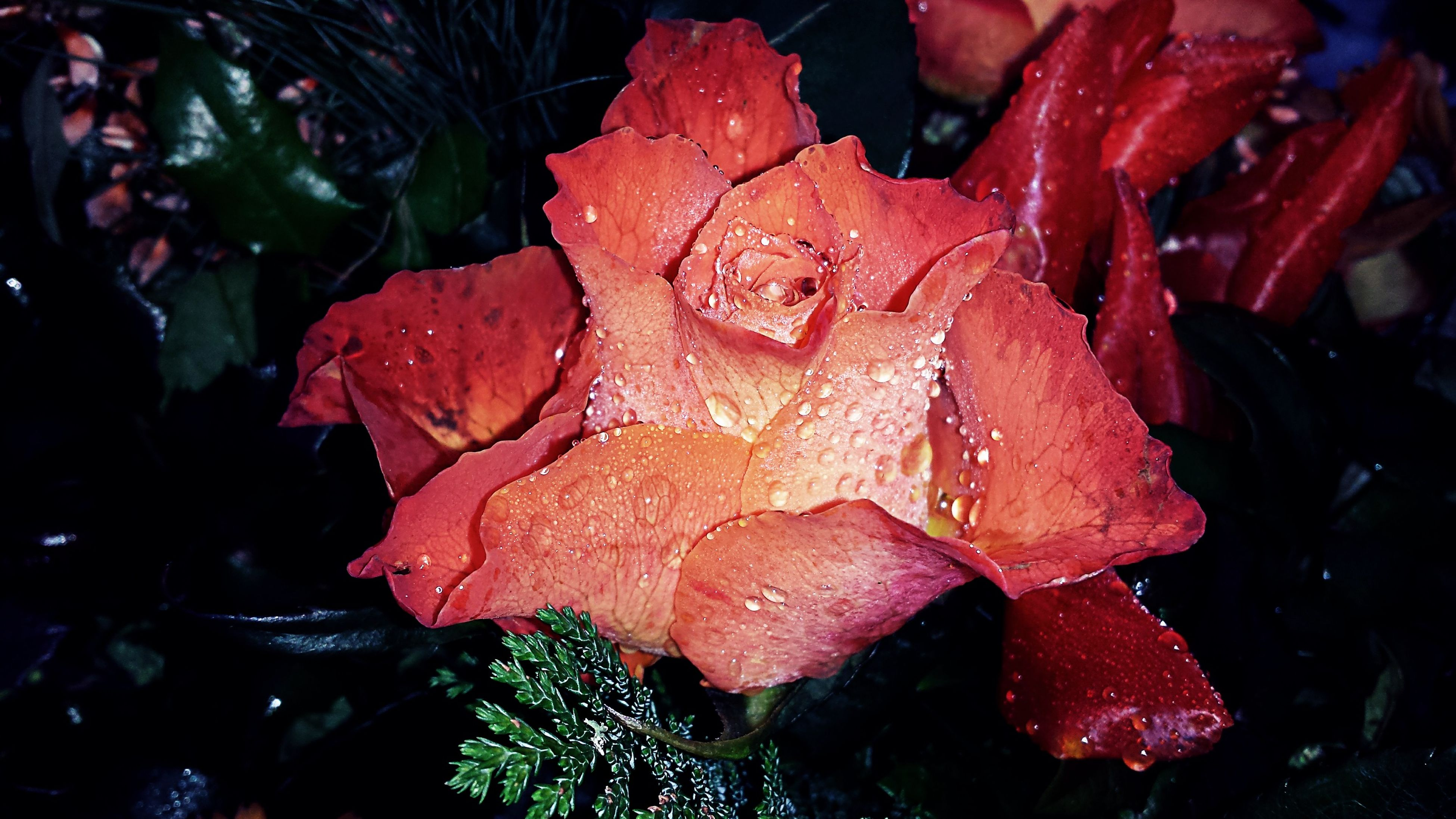 drop, leaf, wet, water, red, close-up, freshness, growth, fragility, season, beauty in nature, nature, plant, rain, dew, weather, raindrop, flower, petal, leaves