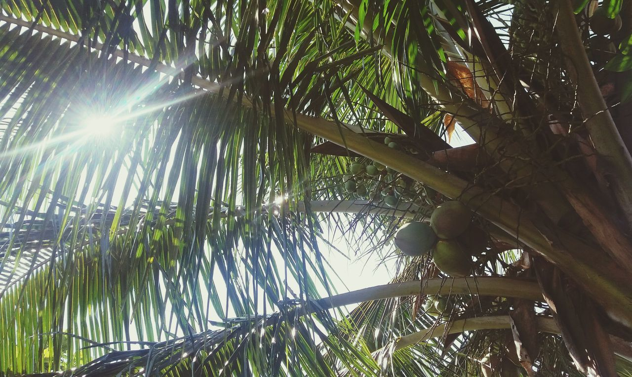 tree, low angle view, lens flare, growth, nature, day, outdoors, palm tree, green color, branch, fruit, sunlight, no people, beauty in nature, freshness