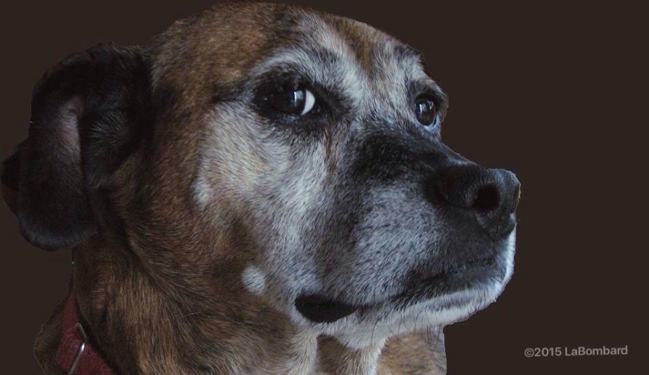 Luke Dog Dogs Dog❤ I Love My Dog Dog Lover Mixedbreed BoxerMix Dog Love Dogphotography Dogphoto Dogslife Canine Canine Companion