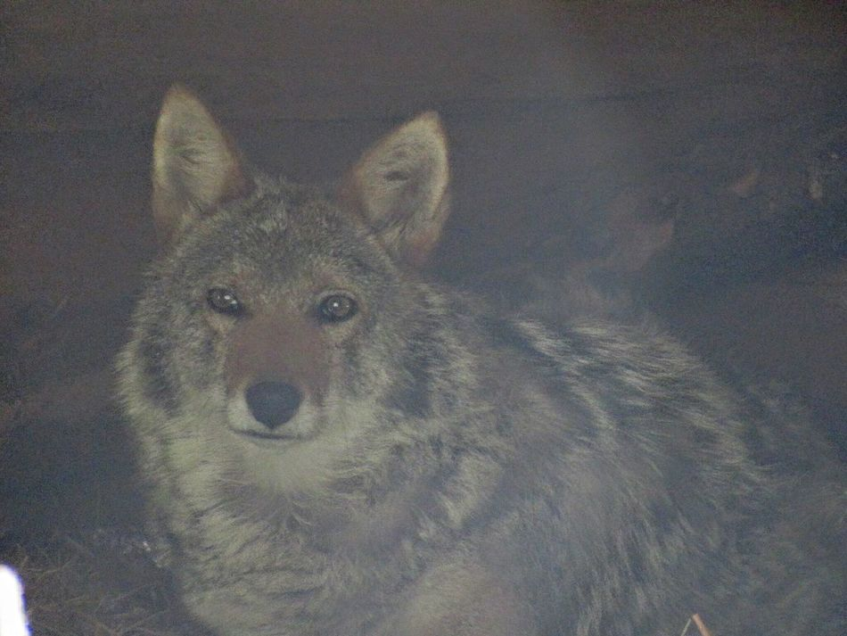 Quebec Abitibi Coyote Coucher  Sleepy