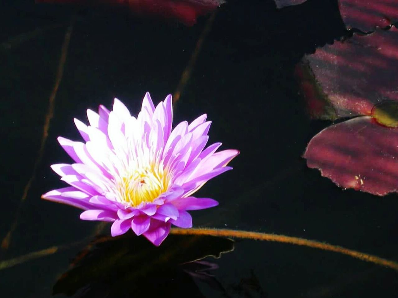 flower, petal, beauty in nature, nature, fragility, freshness, flower head, growth, plant, no people, blooming, outdoors, close-up, floating on water, leaf, water lily, water, yellow, day