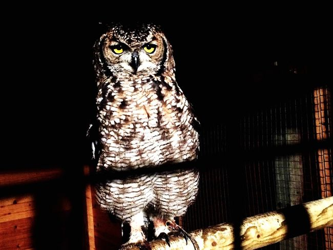 Nice picture of my owl outside :) Bird Of Prey No People Zoology Owl Owl Eyes Bird Photography Birds Outdoors Darkness Dark Nature