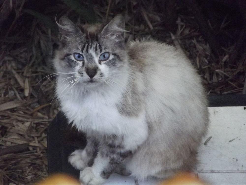 Animal Head  Beauty Cat Cat Feline Pets