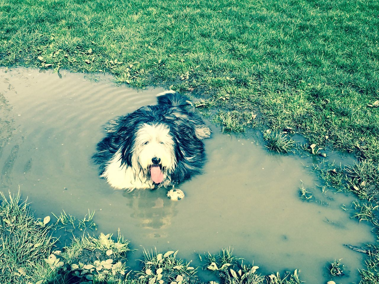 Bearded Collie Breather Dog Dog Walking Doggie Doggy Doglover Dogs Of EyeEm Dogslife Dogstagram Dog❤ Field Giant Puddle Grass High Angle View Mudbath Muddy Puddles Puddle Regents Park Rest Restaurants Resting Water