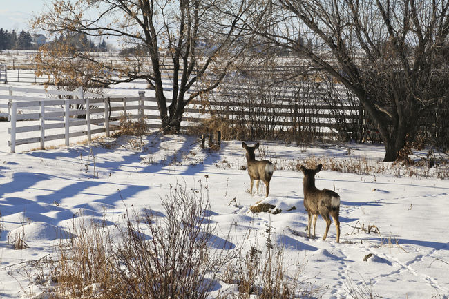 Deer wandering through our garden Animal Themes Bare Tree Beauty In Nature Cold Temperature Day Deer Deers Deersighting Field Garden Landscape Mammal Nature No People Non-urban Scene Outdoors Season  Snow Snow Covered Tranquil Scene Tranquility Tree Weather White Color Winter