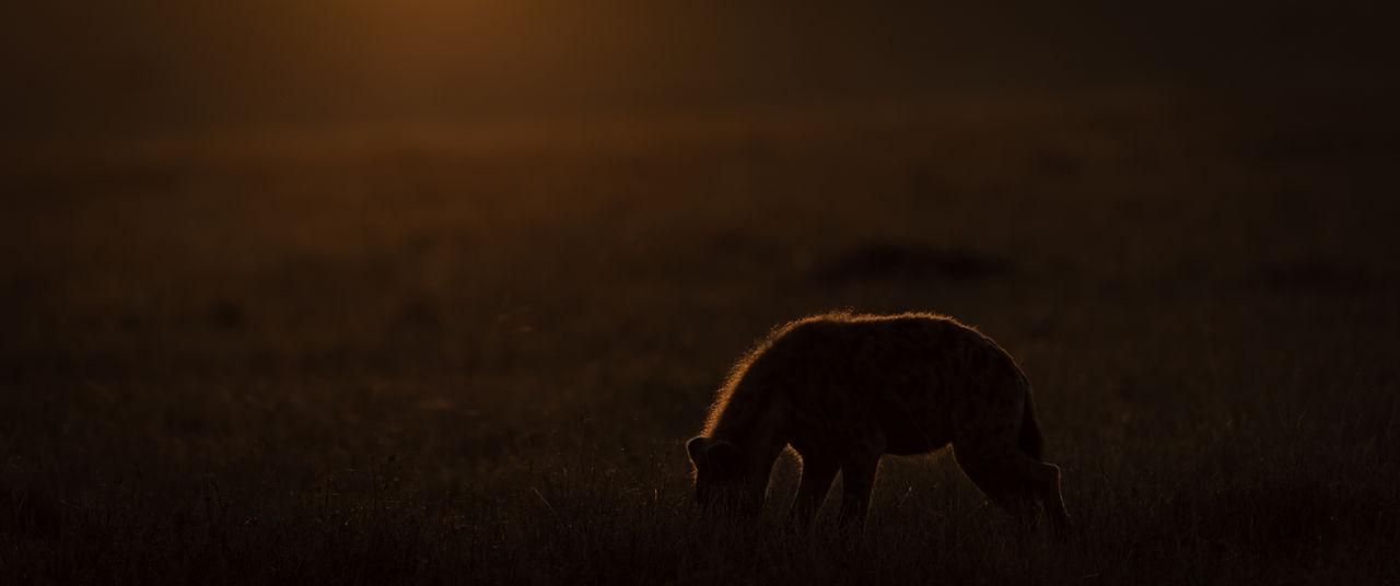 Africa Animal Themes Animal Wildlife Animals In The Wild Dawn Golden Hour Hyena Kenya Masai Mara Nature No People Outdoors Safari Safari Animals Silhouette