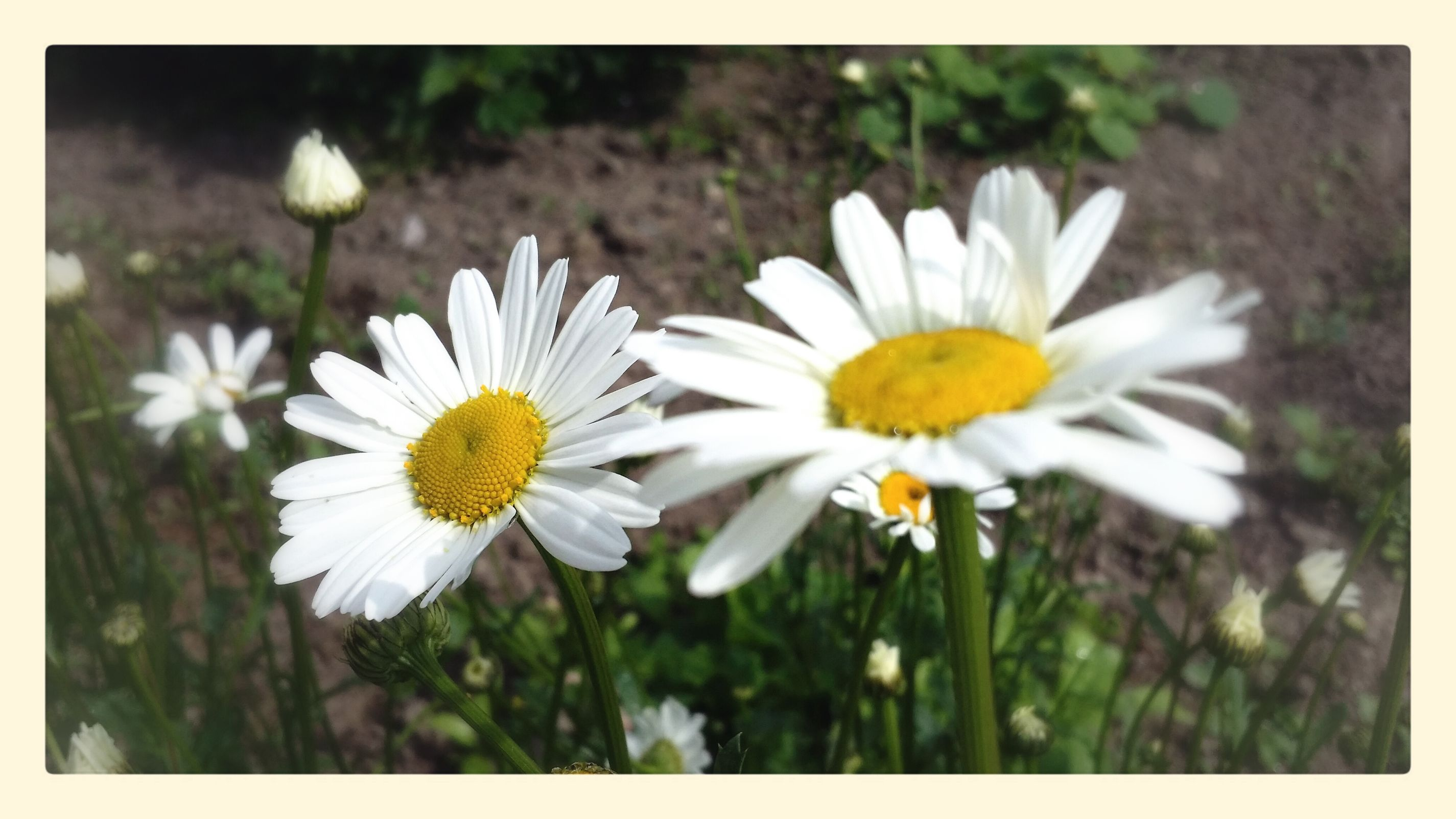 Even the most frustrating day is better with a few daisies around. Dont Pick The Daisies