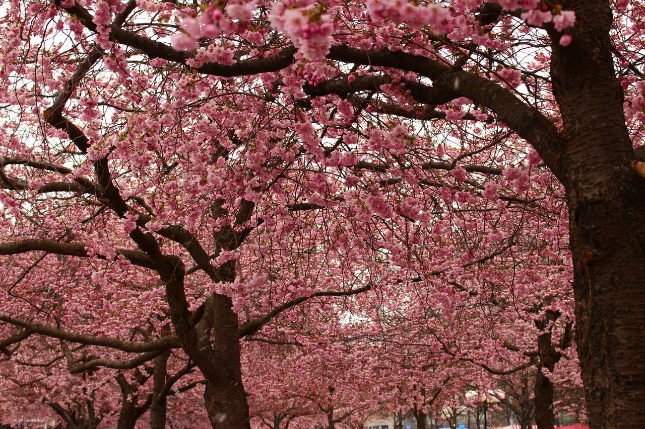 Art Is Everywhere Beauty In Nature Beauty In Nature Blossom Botany Branch Cherry Blossom Cherry Tree Colourful Day EyeEm Gallery Nature_collection Flower Fragility Freshness Growth Kungsträdgården, Stockholm Nature No People Outdoors Petal Pink Pink Color Springtime Tree