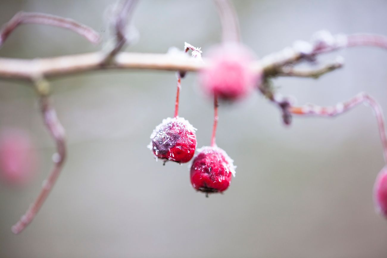 🍒 I wish you all a nice Friday and a colorful weekend start. Berries TreePorn Frozen Frozen Nature Only Nature Macro Close Up Nature Ice Winter Winter Wonderland Fresh On Eyeem  Naturelovers Nature On Your Doorstep EyeEm Gallery EyeEm Nature Lover I LOVE PHOTOGRAPHY Showcase: February Malephotographerofthemonth 3XSPUnity Followme Simple Quiet Love Fall Beauty Full Frame Moody Plants And Flowers
