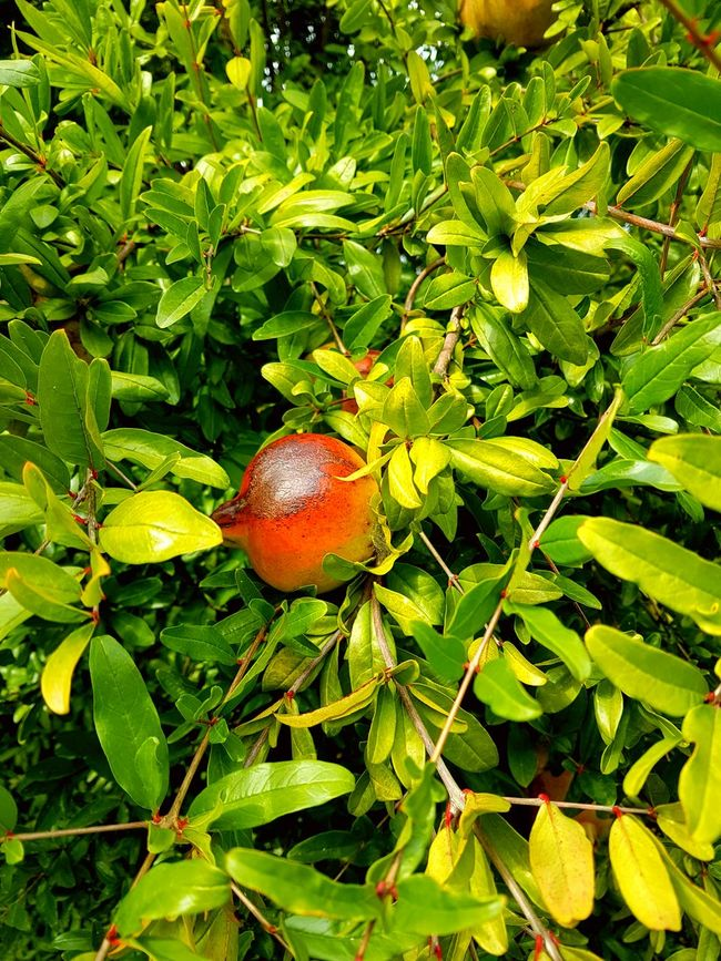 Fruit Food And Drink Freshness Green Color Food Outdoors Vibrant Color Nature Red Grapefruit Pommegranate 2016😍 Samsung Galaxy S7 Edge Feel The Journey Personal Perspective My Point Of View Natura Alberi Domenica Rosso Verde Beauty In Nature Agriculture Close-up Sunny