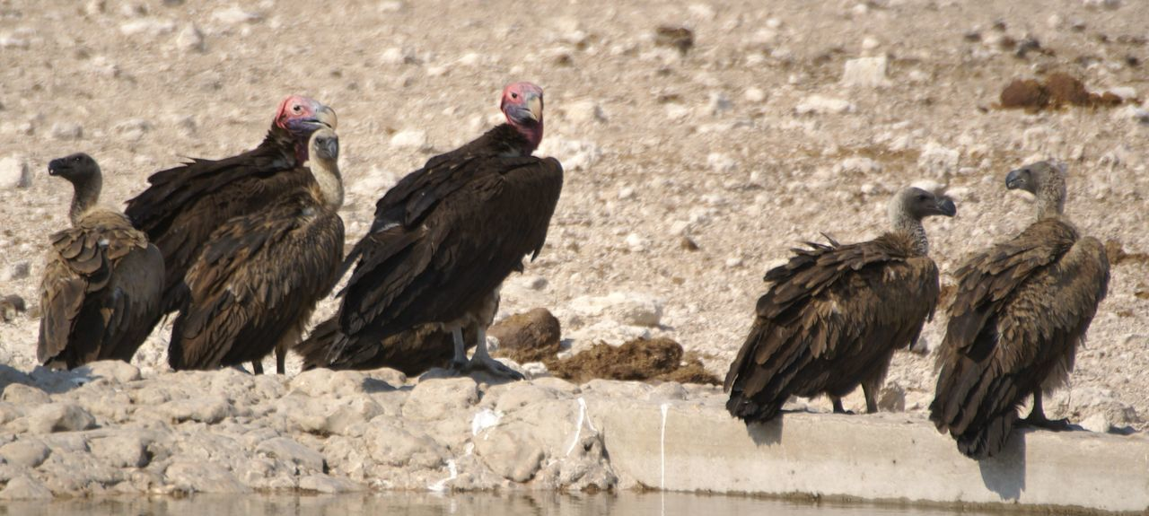 bird, animal themes, animal wildlife, ostrich, no people, day, outdoors, animals in the wild, livestock, nature, vulture