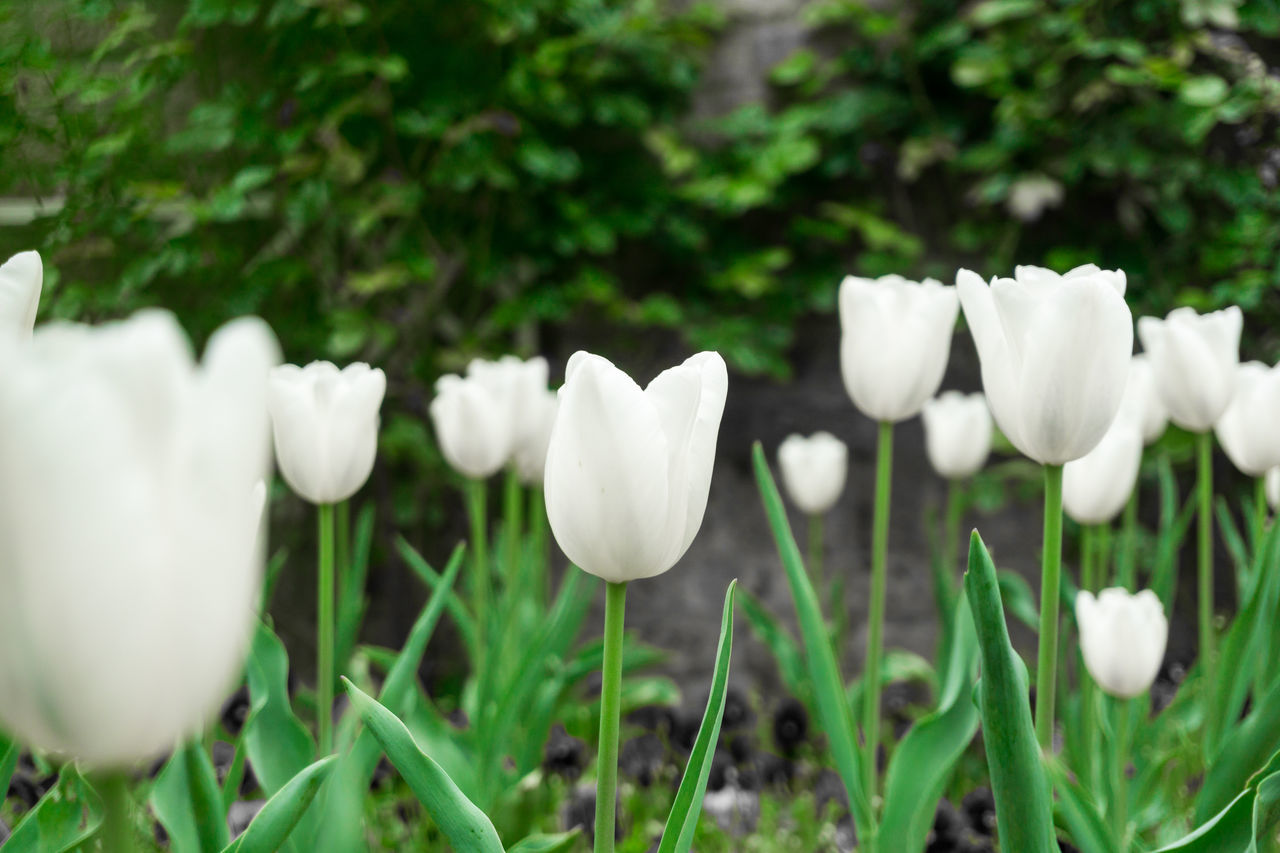 White Tulips Background Beautiful Blooming Close-up Colors Flora Flowers Fragility Freshness Gardener Gardening Gardens Green Growing Growth Inflorescence Moring Nature Outdoor Petals Pistils Plants Spring Tulips White