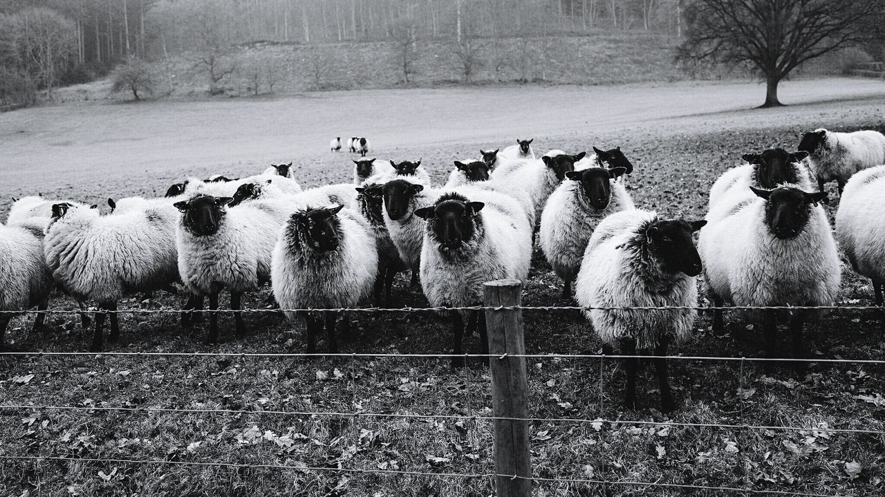 Animal Themes Large Group Of Animals No People Nature Sheep Lauraloophotography