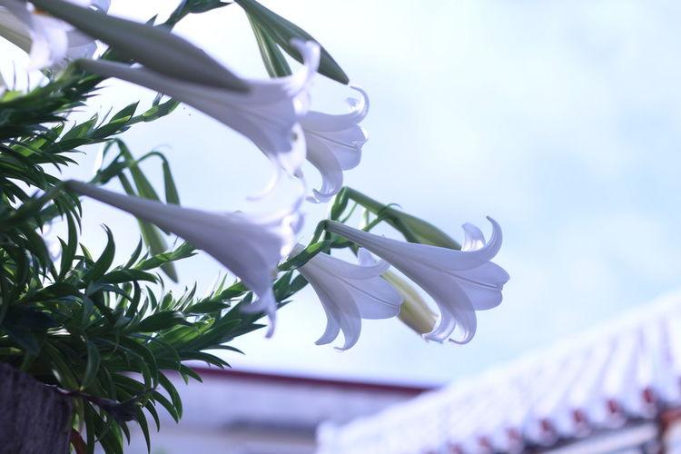 Lilly Plant Leaf Flower Nature No People Close-up Tree Day Outdoors Freshness Sky Beauty In Nature Okinawa Morning oldlens Vintage Lens Oreston 1.8/50 Oreston Meyer-Optik-Görlitz Canon