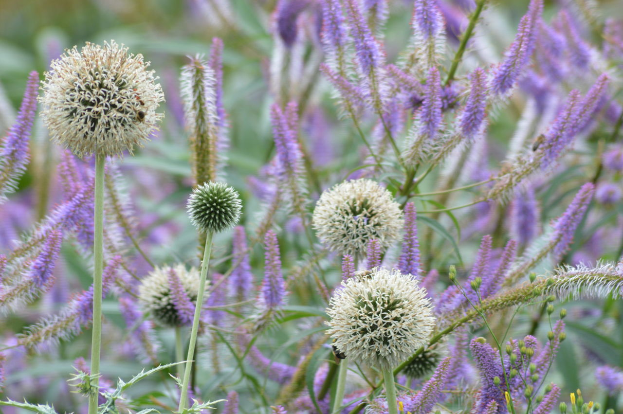 Animal Themes Beauty In Nature Blooming Close-up Day Eastern Purple Coneflower Field Flower Flower Head Focus On Foreground Fragility Freshness Growth Nature No People Outdoors Petal Plant Purple Thistle