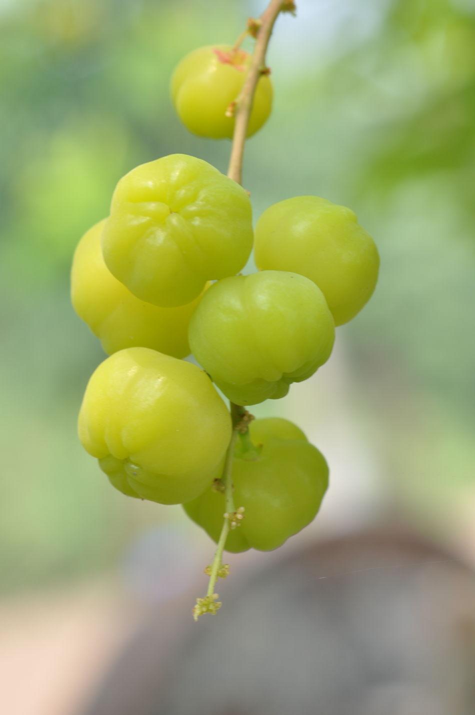 Close up Star goodeberry fruit Fruit Food Sour Fresh Star Gooseberry Green Vitamin Graden Background Close-up