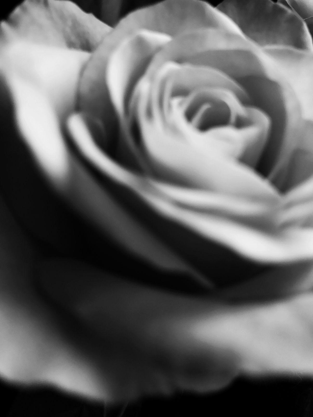 Rosé Blackandwhite Black And White Black & White Monochrome Macro Soft Focus