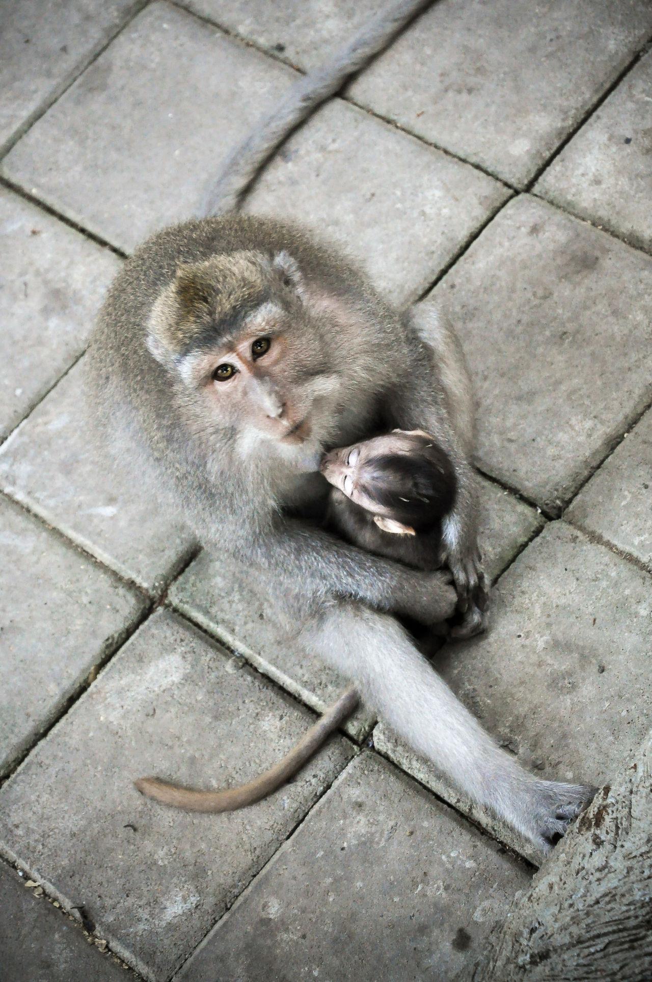 Animal ASIA Baby Monkey Bali INDONESIA Mammal Monkey Monkey Love Mother Monkey Portrait Sacred Monkey Forest Sacred Monkey Forest Sanctuaray Ubud Ubud Bali Ubud, Bali