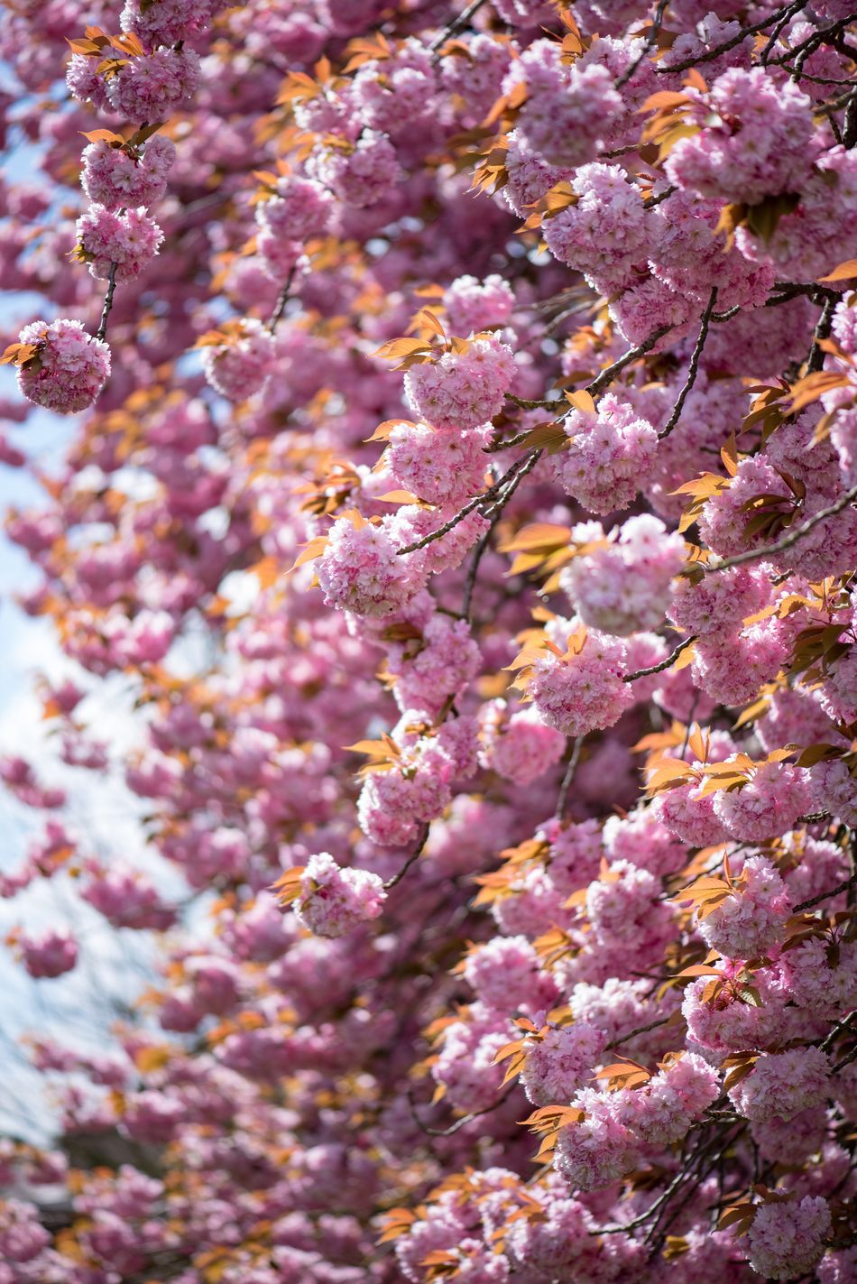 Japanese cherry tree in full blossom Pink Color Nature Beauty In Nature No People Fragility Outdoors Day Tree Blossom Tadaa Community Spring Nature_collection Petal Nature On Your Doorstep EyeEm Nature Lover Cherry Blossoms Outside Branch Nature Photography Freshness Spring Flowers