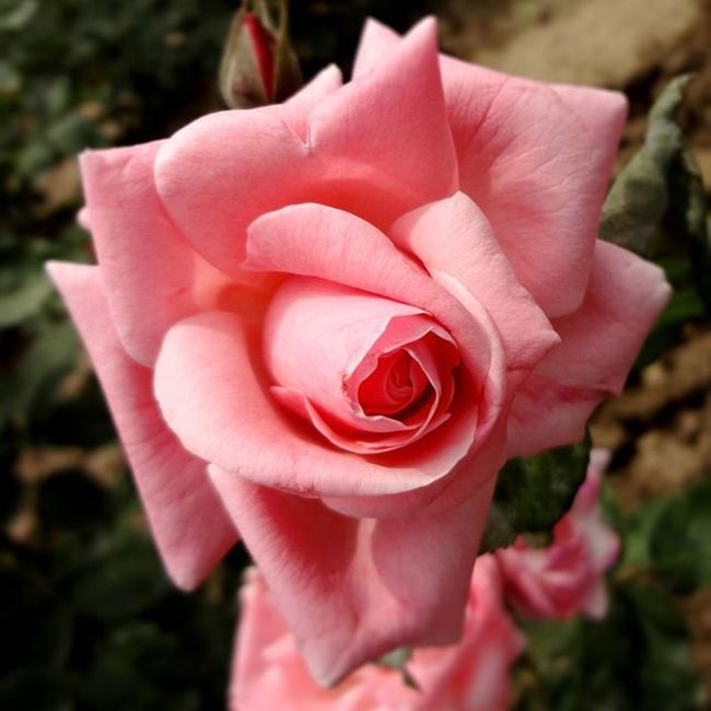 Don't strew me with roses after I'm dead. When Death claims the light of my brow No flowers of life will cheer me: instead You may give me my roses now! Pink Rosegram Mygarden Flowerslover RainyDay Flower4U MultiDoubletap Followgram Picoftheday Pic4Follow .