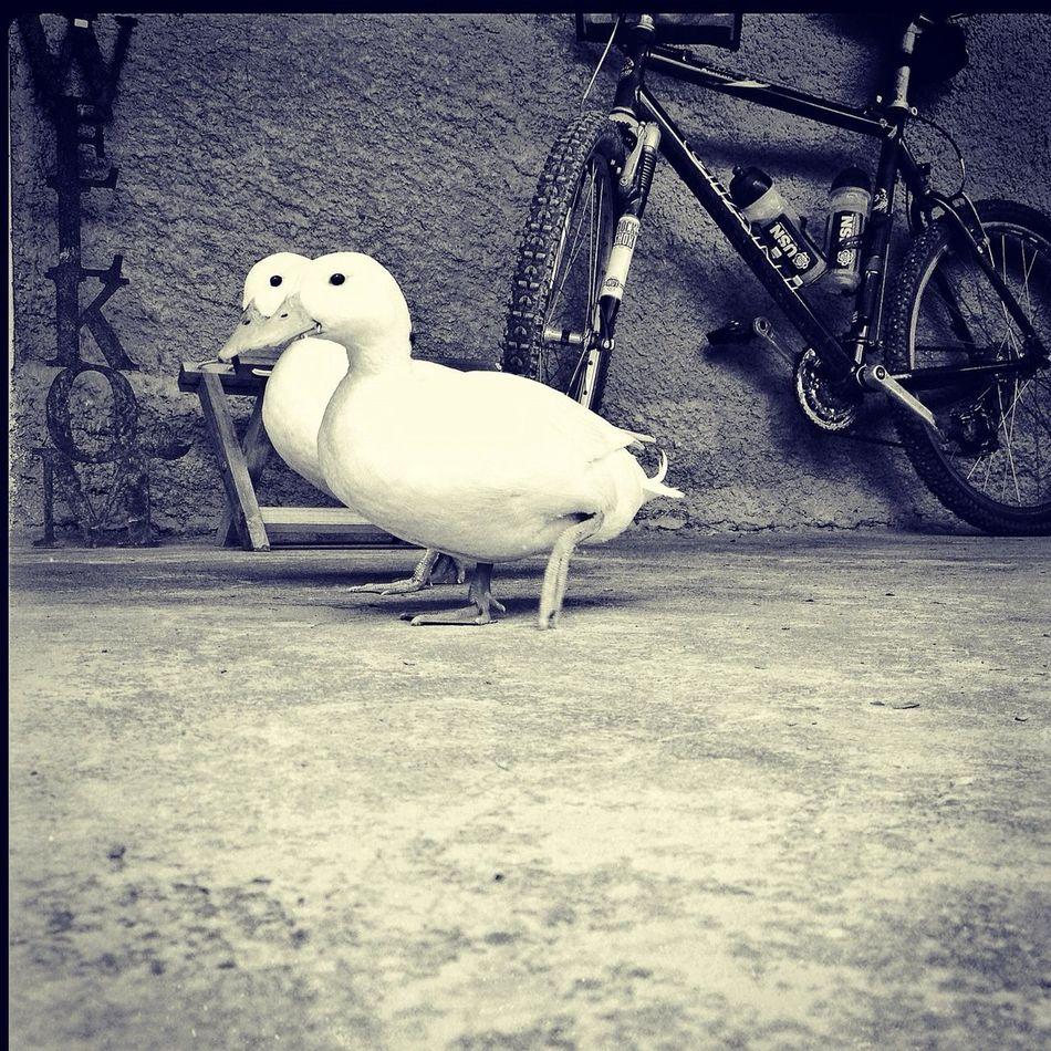 Karoo ducks Somewhere between Oudtshoorn and Rooiberg