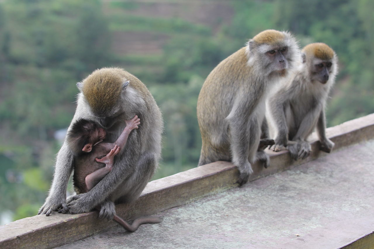 Beautiful stock photos of monkey, Animal Family, Animal Themes, Animal Wildlife, Animals In The Wild