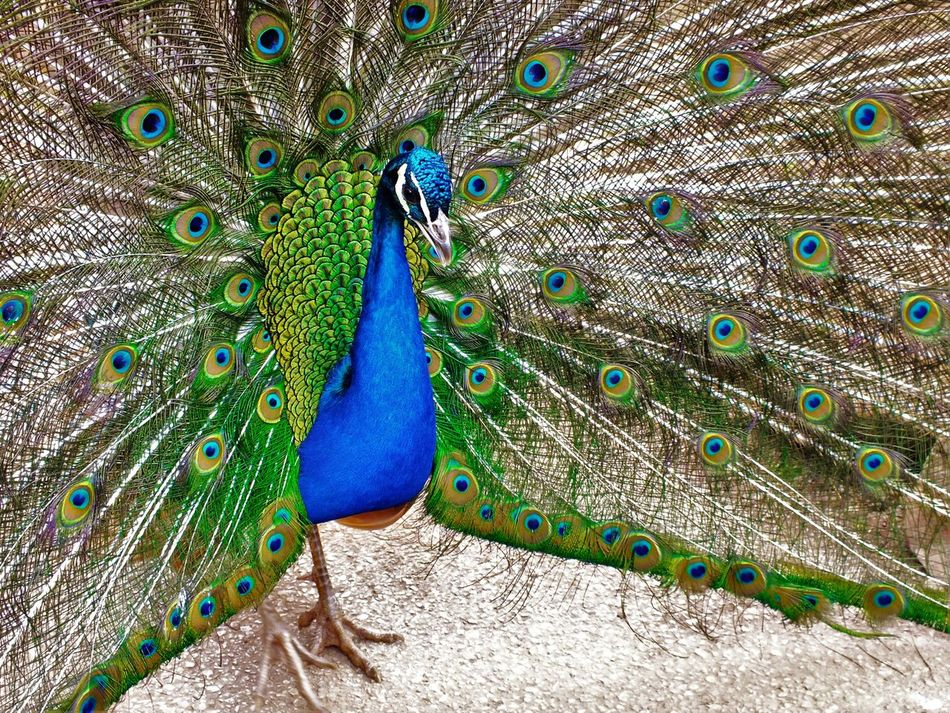 Beautiful stock photos of pfau, Animal Themes, Animal Wildlife, Animals In The Wild, Beauty In Nature
