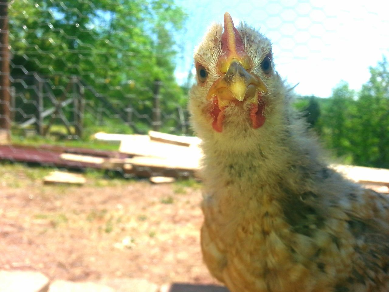 Close-up Alertness Chicken Love Roscoe Baby Roo Galaxy Note 5