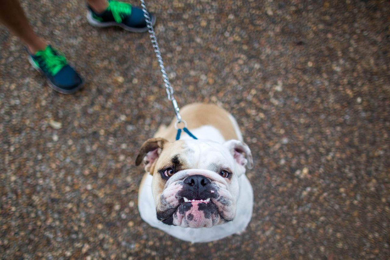 Hi. How are you? The Portraitist - 2015 EyeEm Awards Dog Portrait Pets Corner English Bulldog Summer Dogs