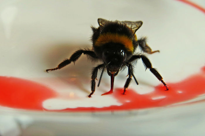 Animal Themes Animal Wildlife Animals In The Wild Bee Bee Eating Bee Tongue Close-up Day Eating Extreme Close-up Indoors  Insect Macro Macro Beauty Macro Bee Macro Bubbles Macro Bugs Macro Photography Nature Nature_collection No People One Animal Red Sugar Water Wings