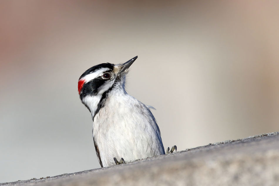 Beautiful stock photos of woodpecker,  Animal Themes,  Animal Wildlife,  Animals In The Wild,  Close-Up