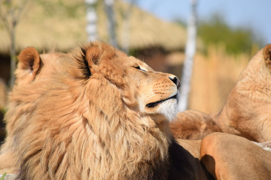 lion Animal Themes Animals In The Wild Close-up Day Feline Focus On Foreground King Lion Lion - Feline Mammal Nature No People One Animal Outdoors Powerful Rock Safari Animals Strong
