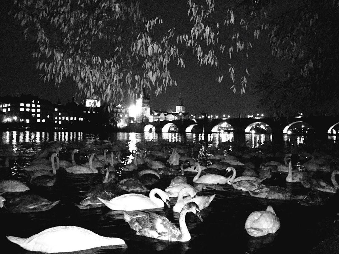Nature Water Swans Prague Nature At Night Beauty In Nature Everythingisburningtour Iamx