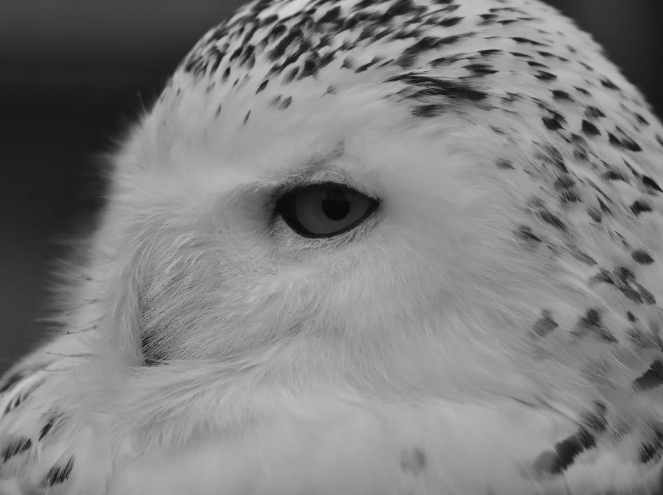 Animal Eye Animal Themes Animal Wildlife Animals In The Wild Beauty In Nature Bird Bird Of Prey Bird Photography Birds Of EyeEm  Birds_collection Black And White Photography Blackandwhite Photography Bubo Scandiacus Close-up Day Female Nature No People One Animal Outdoors Owl Snowy Owl Birds Owl