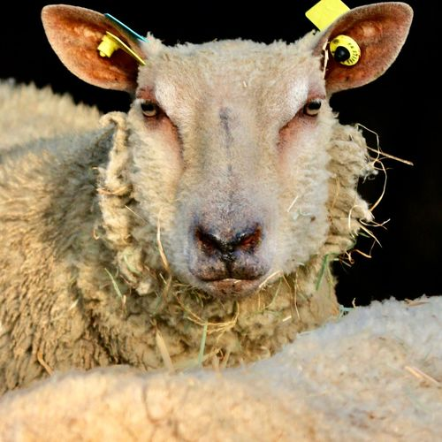EyEmNewHere EyEmselect Animal Head  Animal Themes Animals In The Wild Antler Close-up Day Domestic Animals Livestock Looking At Camera Mammal Nature No People One Animal Outdoors Portrait