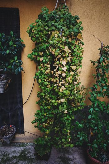 Growth Green Color Hanging Plant No People Built Structure Building Exterior Tree Indoors  Leaf Christmas Tree Christmas Decoration Architecture Close-up Christmas Ivy Nature Freshness Day Adapted To The City Urban Garden Pattern Pattern Pieces City Urban Landscape