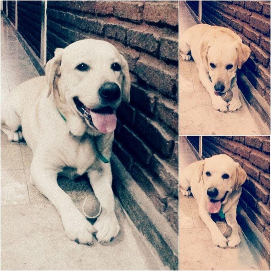 Me alegras siempre ♥♡Bingo Amor Tiquitito Perrito labrador tierno