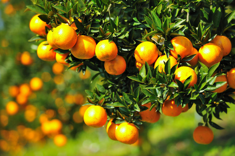 Beauty In Nature Citrus Fruit Close-up Day Food Freshness Fruit Growth Healthy Eating Leaf Nature No People Orange Orange - Fruit Orange Tree Outdoors Taiwan Tree