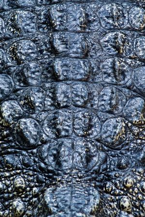 Animal Scale Animal Themes Animal Wildlife Animals In The Wild Backgrounds Close-up Close-up Shot Crocodile Day Directly Above Full Frame Nature No People One Animal Outdoors Reptile Textured