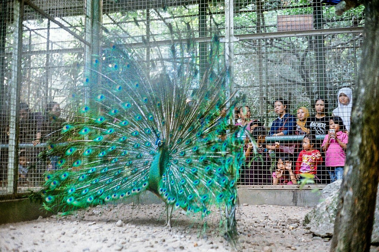 Green Peafowl spreading her beauty Film Colorplus Color Canonetql17 Zoo INDONESIA