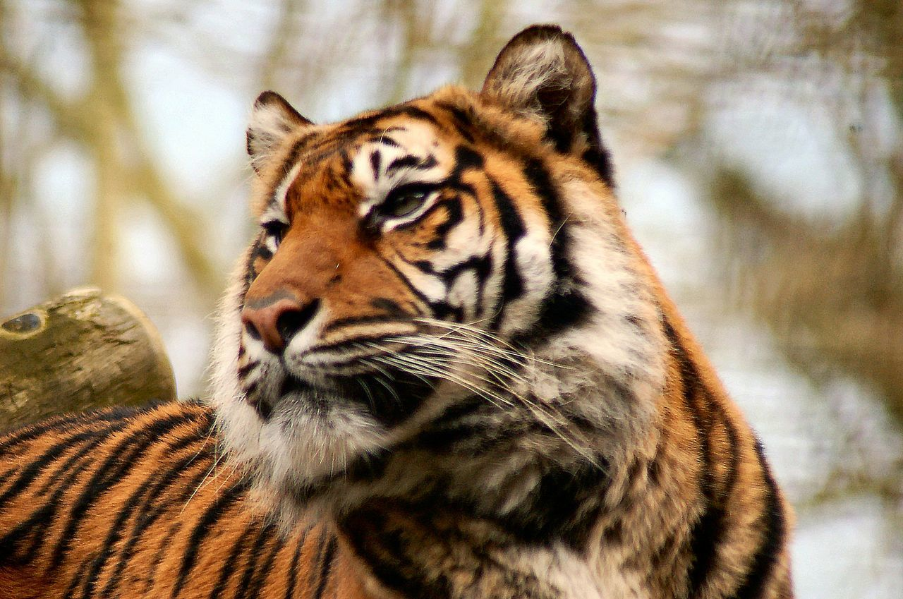 one animal, animals in the wild, tiger, animal themes, focus on foreground, animal wildlife, mammal, day, no people, nature, close-up, outdoors
