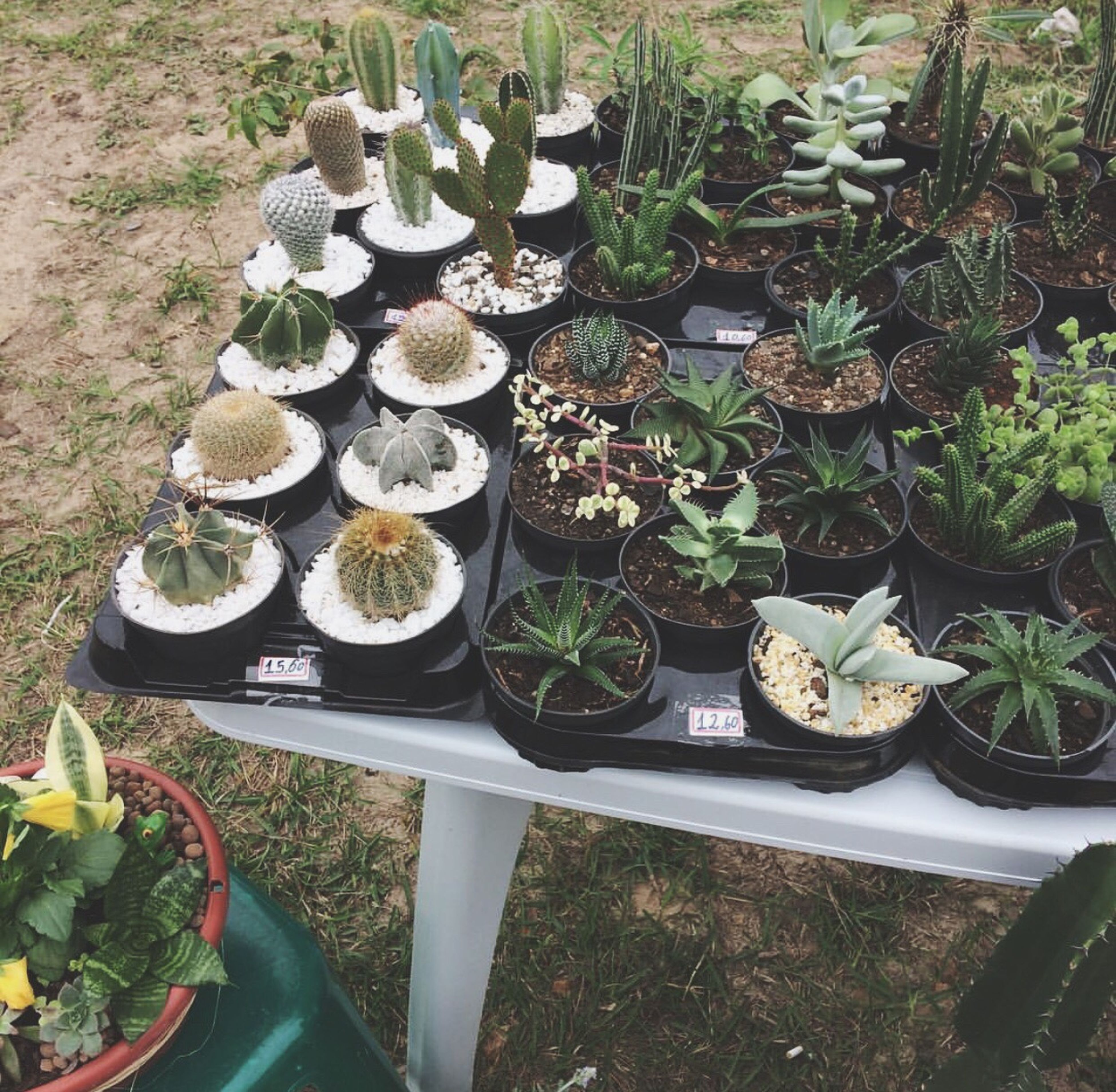potted plant, high angle view, plant, growth, cactus, no people, freshness, day, in a row, nature, outdoors, green color, arrangement, variation, food, leaf, beauty in nature, greenhouse, plant nursery