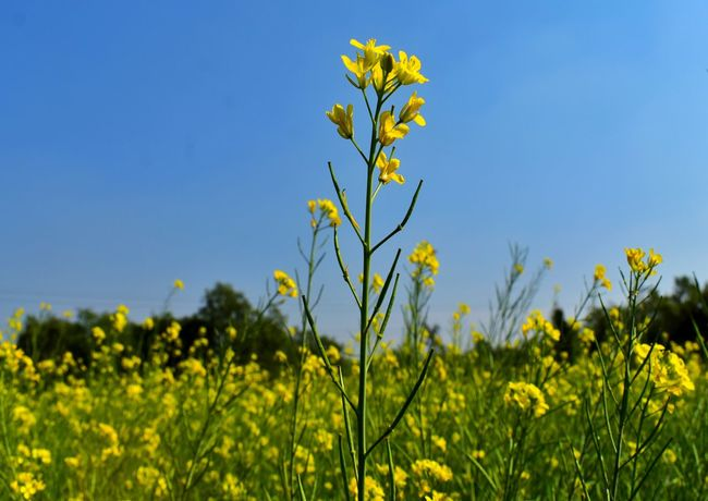 Flower Plant Yellow Nature Field Rural Scene Crop  Agriculture Growth Outdoors Cereal Plant Clear Sky Sky