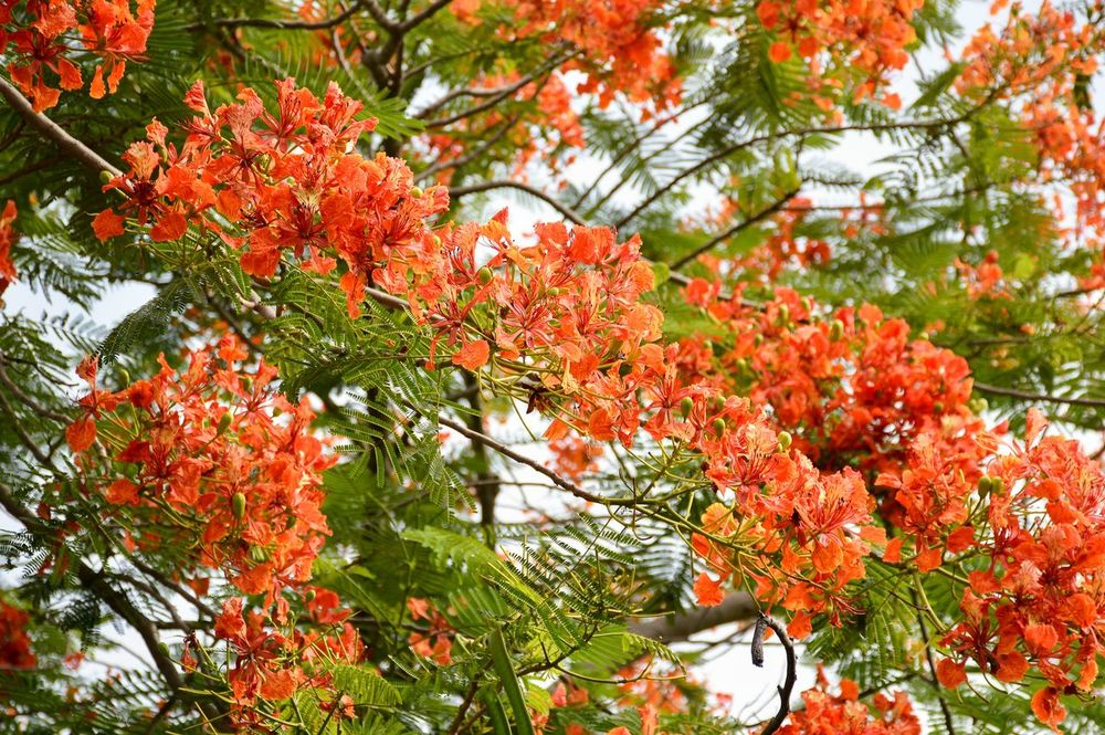 Branches Delonix Regia Natural Nature Plant Red Royal Poinciana Tree Beauty In Nature Beauty In Nature Bloom Blooming Blossom Blossoms  Botany Branch Close-up Day Flam Boyant Flam Tree Flora Flower Fragility Freshness Garden Growth Limb Nature No People Orange Color Outdoor Outdoors Petal Tree