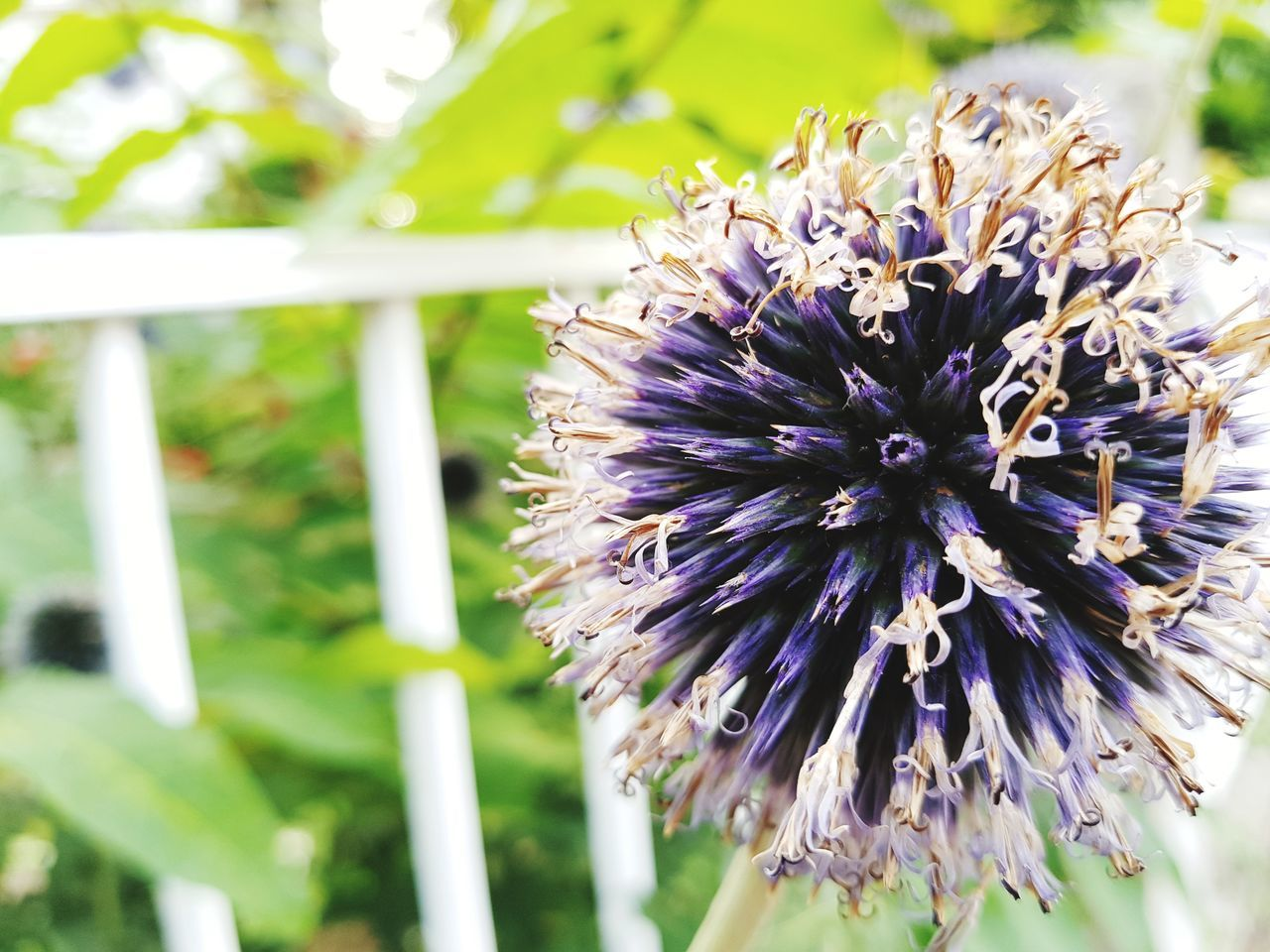 flower, nature, purple, close-up, fragility, beauty in nature, day, no people, outdoors, growth, focus on foreground, plant, freshness, flower head, animal themes