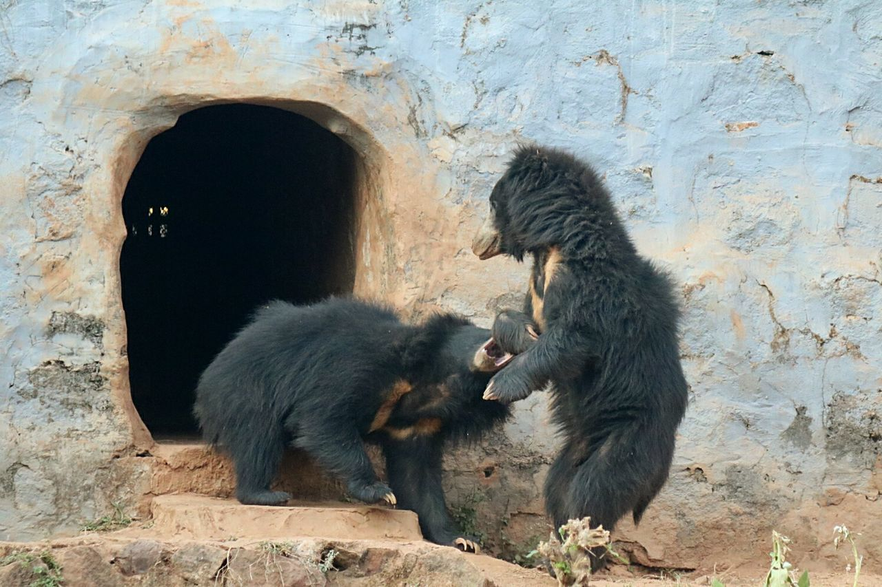 Fighting Fight Bears Bear Family❤ Bear Bear Life Bear Playing Chance Encounters Bhubaneswar,india Bhubaneswar Nandankanan Nandankanon My Year My View
