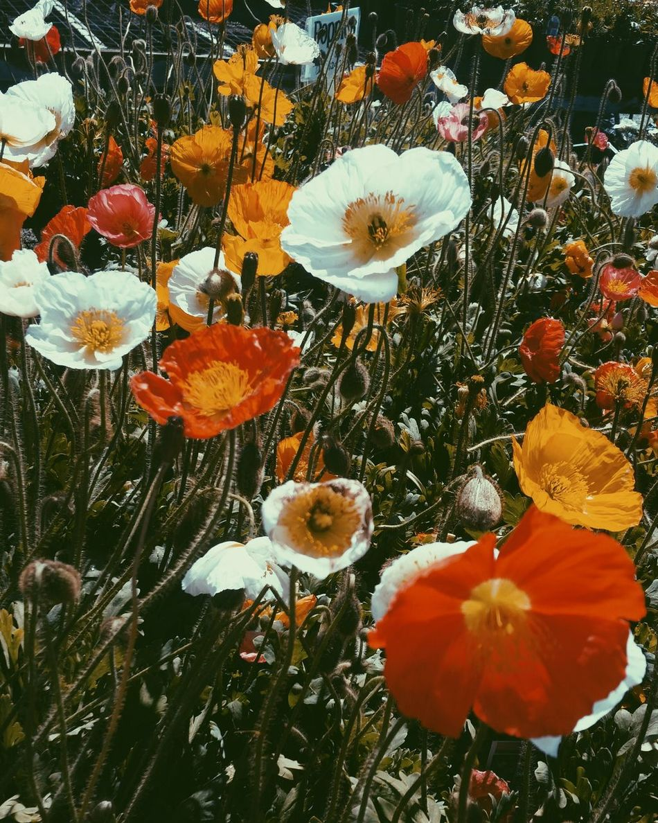 Nature No People Beauty In Nature Flower Day Close-up Outdoors Growth Poppy Fragility Flower Head Sky Poppy Flowers Poppies  Floristry Nursery Nursery Garden Yellow Orange Red White White Flower Red Flower Yellow Flower Orange Flower First Eyeem Photo